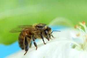 Le Csiro, l'organisme gouvernemental australien pour la recherche scientifique, a fait attacher, début 2014, des puces RFID sur le dos de 5 000 abeilles - Photo Csiro